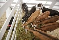 Выставка коз в Туле, Фото: 19