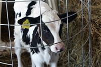 Счастливые коровы, Фото: 5