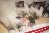 В Туле прошла выставка «Пряничные кошки» , Фото: 46