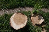 Мне нужнее: в тульском дворе подрядчик самовольно вырубил 15 ясеней и забрал их себе, Фото: 13