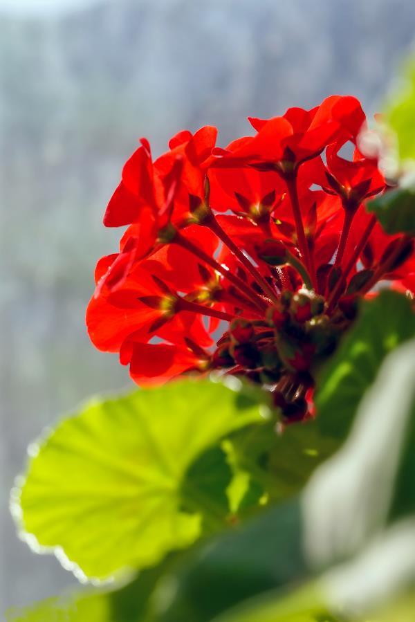 Цветёт ярко красная комнатная герань!