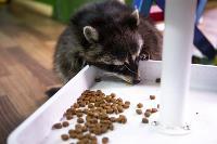 Тульское Шоу ручных енотов: «Из-за карантина нам нужна помощь туляков», Фото: 37