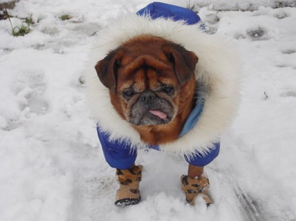 Суровый символ в несуровую зиму. PS. зиму обещали снежную и суровую.. мы поймали этот день))