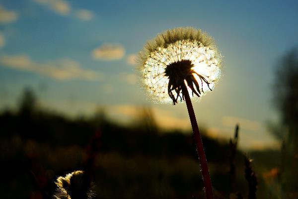 Одуванчик и вечернее солнце