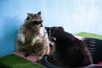 Тульское Шоу ручных енотов: «Из-за карантина нам нужна помощь туляков», Фото: 29