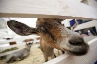 Выставка коз в Туле, Фото: 13