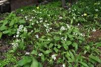 Цветение черемши в нашем саду, Фото: 2