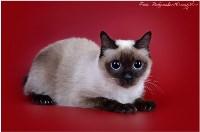 Кошки породы Скиф-той-боб, Фото: 4