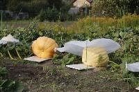 Гигантские тыквы из урожая семьи Колтыковых, Фото: 2