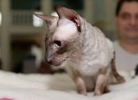 Выставка кошек в Туле, Фото: 33