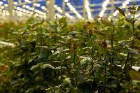 Миллион разных роз: как устроена цветочная теплица, Фото: 21