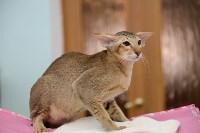Выставка кошек в Туле, Фото: 75