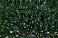 Тюльпаны , Фото: 9
