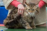 Выставка кошек в Туле, Фото: 21