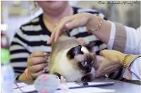 Кошки породы Скиф-той-боб, Фото: 1