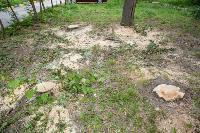 Мне нужнее: в тульском дворе подрядчик самовольно вырубил 15 ясеней и забрал их себе, Фото: 4