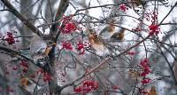 Дрозды-рябинники в Туле, Фото: 27