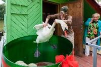 Запуск лебедей в верхний пруд Центрального парка Тулы, Фото: 5
