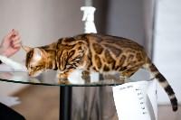 Выставка кошек. 4 и 5 апреля 2015 года в ГКЗ., Фото: 67