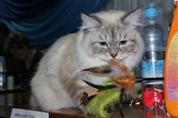 В Туле прошла международная выставка кошек, Фото: 42