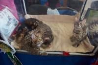 Выставка кошек в ГКЗ. 26 марта 2016 года, Фото: 103