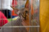Выставка кошек в ГКЗ. 26 марта 2016 года, Фото: 52