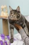 Выставка кошек в Туле, Фото: 60