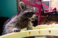 Тульское Шоу ручных енотов: «Из-за карантина нам нужна помощь туляков», Фото: 22