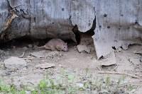 Крысы на троллейбусном кольце, 02.06.2016, Фото: 7