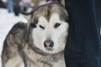 Праздник северных собак на Куликовом поле , Фото: 15