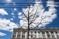 засохшие деревья на проспекте, Фото: 5