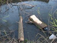 Спиленные деревья в ручье березовой рощи, Фото: 5