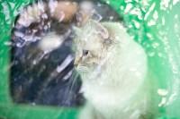 Выставка кошек. 4 и 5 апреля 2015 года в ГКЗ., Фото: 80