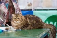 Выставка кошек в Туле, Фото: 83