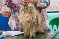 Выставка кошек в Туле, Фото: 85