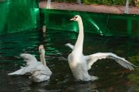 Запуск лебедей в верхний пруд Центрального парка Тулы, Фото: 21