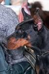 Выставка собак в Туле 26.01, Фото: 32