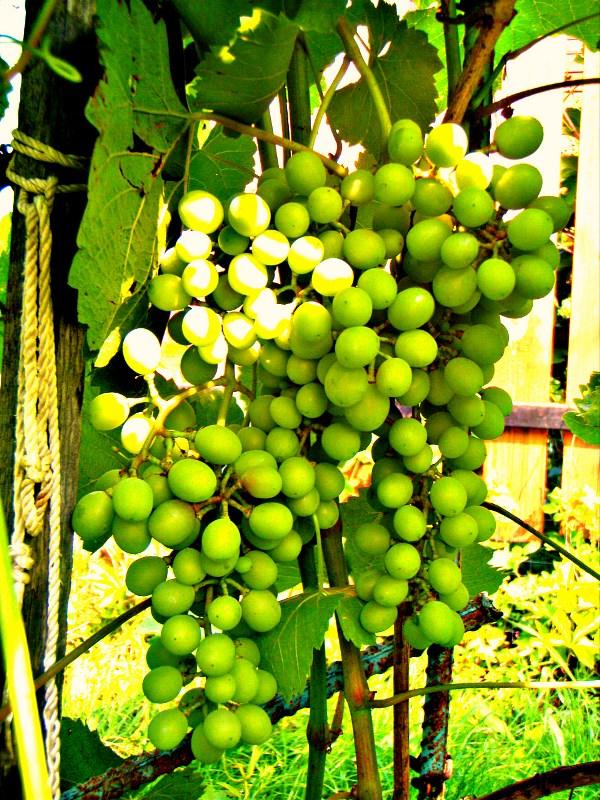 Аа и зелёный... виноград