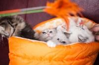 """Выставка """"Пряничные кошки"""". 15-16 августа 2015 года., Фото: 55"""