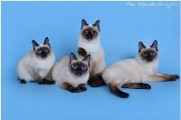Кошки породы Скиф-той-боб, Фото: 11
