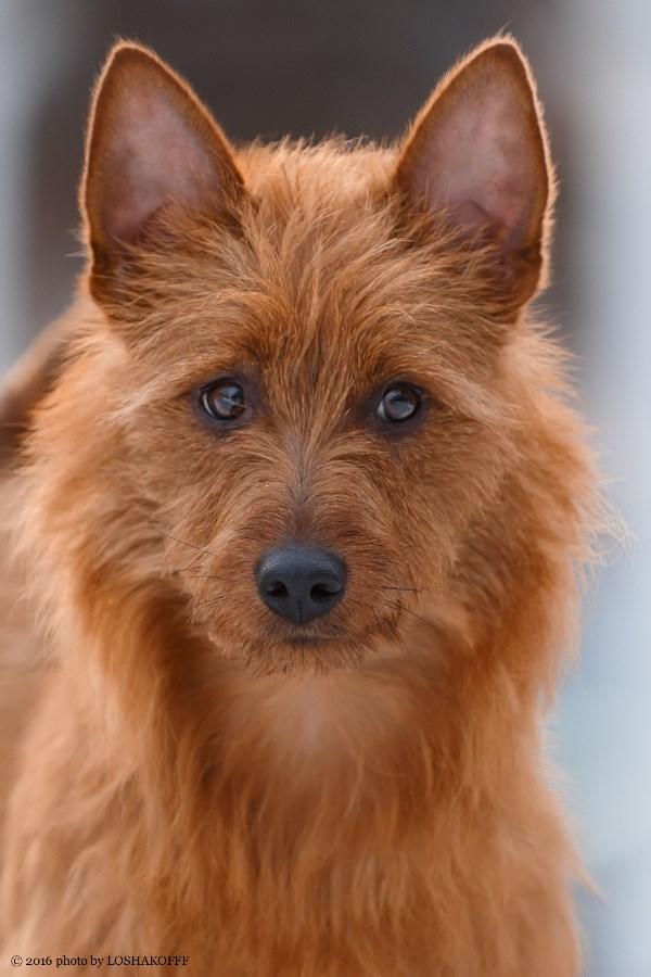 Рыжий терьер - кто как не он должен быть символом 2018 года - Года желтой земляной собаки?