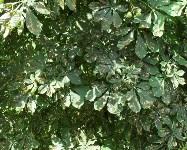 Желтеющие каштаны в Туле, Фото: 5