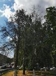 В Туле гибнут деревья, Фото: 52