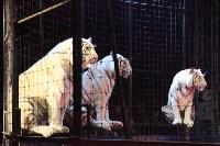 """Цирк """"Максимус"""" и тигрица в гостях у Myslo, Фото: 27"""