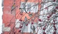 Дрозды-рябинники в Туле, Фото: 11