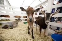 Выставка коз в Туле, Фото: 12