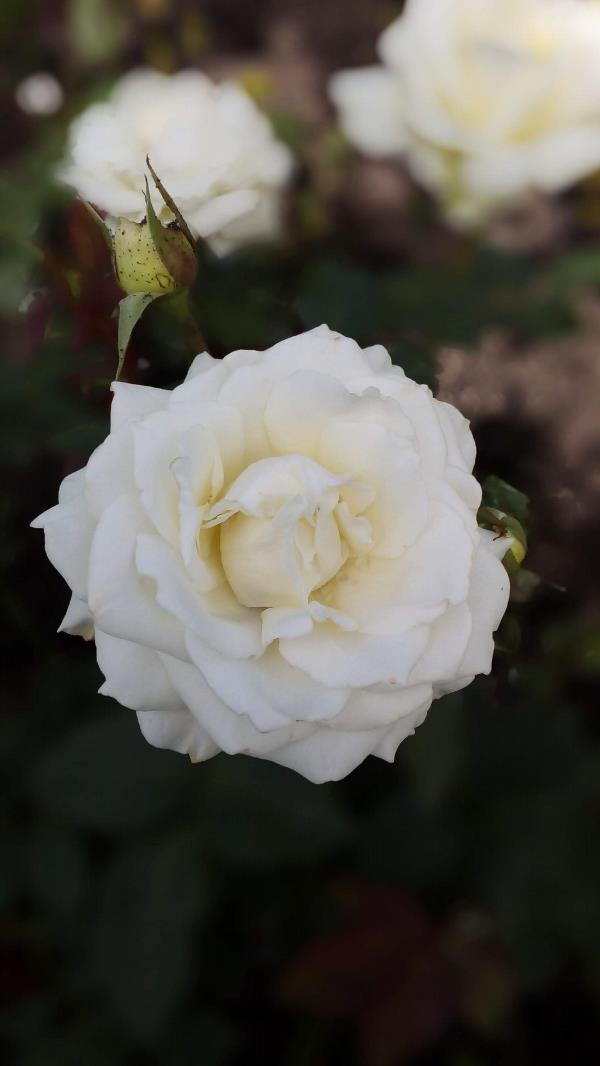 Роза... Не дикая...