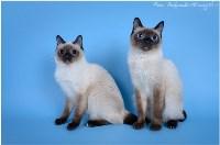 Кошки породы Скиф-той-боб, Фото: 15