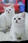 В Туле прошла международная выставка кошек «Зимнее конфетти», Фото: 6