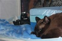 В Туле прошла международная выставка кошек, Фото: 57